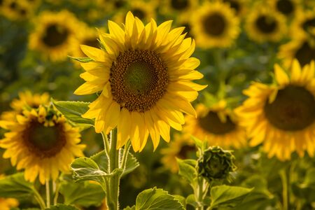 Field of large yellow sunflowers back lit by evening sun Stock Photo