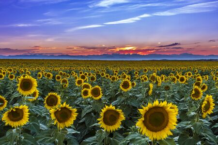Brilliant colorful sunset over Rocky Mountain range with large field of giant yellow sunflowers in foreground