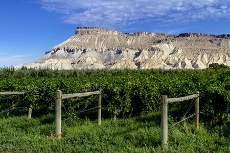 Colorado vineyard in early morning light with Mount Garfield in distance in morning light Zdjęcie Seryjne