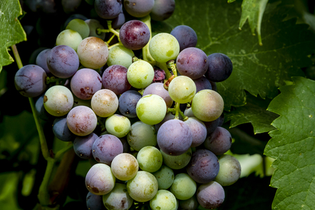Close up of large bunch of red wine grapes in veraison stage Stock Photo