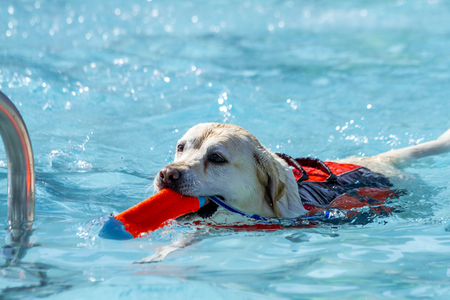 Yellow Labrador Retriever dog playing fetch in swimming pool water with toy in mouth and float device on back Stock Photo