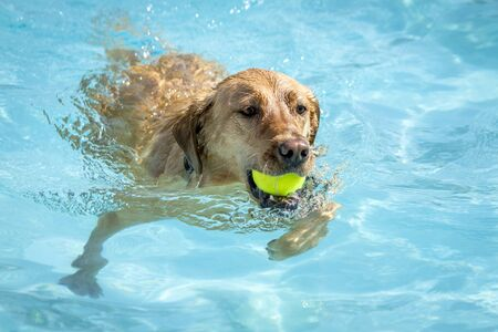 Labrador Retriever swimming in water of local pool with yellow ball in mouth Stock Photo