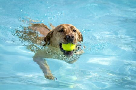 Labrador Retriever swimming in water of pool with tennis ball in mouth