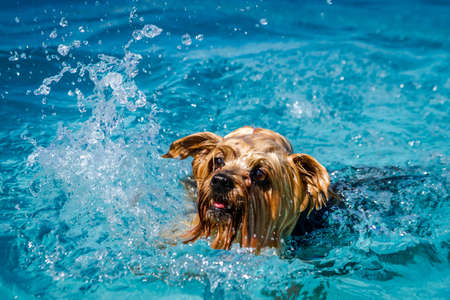 Close up of Yorkshire Terrier splashing in local swimming pool water on summer afternoon Stock Photo