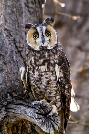 Long eared owl sitting on tree branch in forest Stock Photo