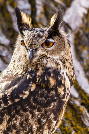 Close up of Eurasian Eagle Owl perched in tree