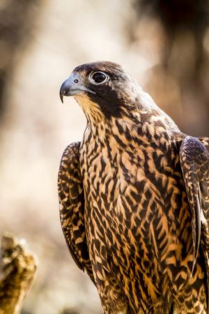 Profile of immature peregrine falcon in fall forest setting