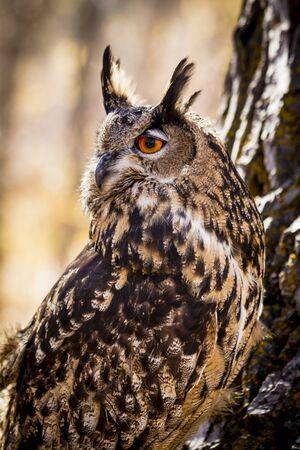 Profile of Eurasian Eagle Owl in early morning light Stok Fotoğraf