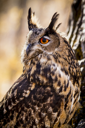 Profile of Eurasian Eagle Owl on warm fall morning in forest Stock Photo