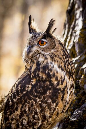 Profile of Eurasian Eagle Owl perched on tree branch Stock Photo