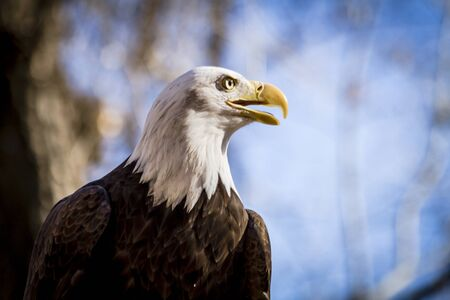 Profile shot of American Bald Eagle sitting in tree in forest setting Stock Photo