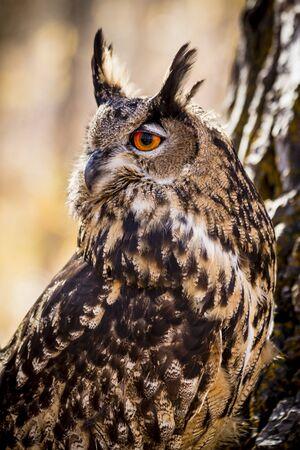 Eurasian Eagle Owl profile sitting on tree branch Stok Fotoğraf