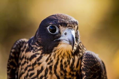 Close up of head of immature peregrine falcon Stock Photo
