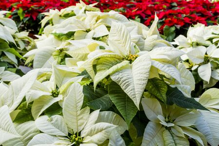 Display of many white poinsettia flowering plants in natural light