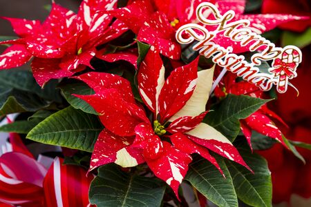 Red glitter poinsettia plant with Merry Christmas floral sitck Stock Photo
