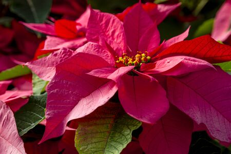 Traditional red variegated poinsettias Christmas flowering plant in sunlight from the side