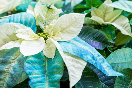 Close up of blue and white Christmas poinsettia blooms in display