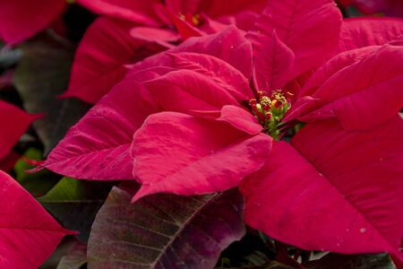 Close up of bright red Christmas poinsettias