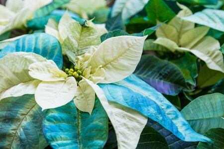 Blue and white Christmas poinsettia blooms in display