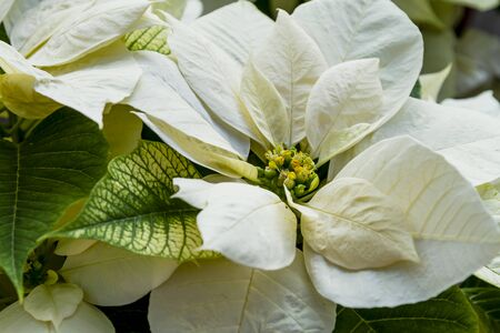 Close up of white poinsettia blooms in natural sunlight