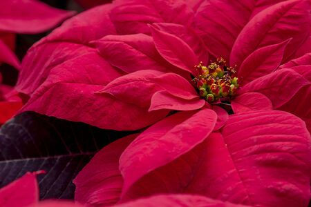Close up of bright red poinsettia blooms in natural sunlight Stock Photo