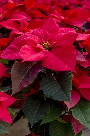 Display of many bright red poinsettia plants Stock Photo