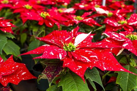 Table of red glitter variety of Christmas poinsettia plants