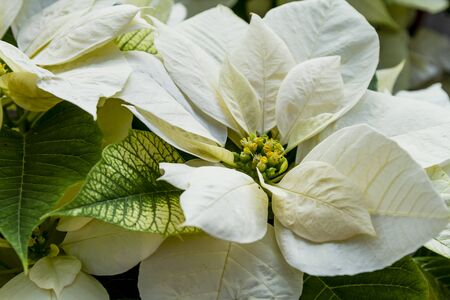 White poinsettia blooms in filtered natural sunlight Stock Photo