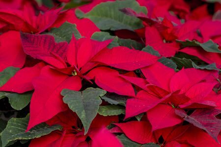 Many bright red Christmas poinsettia plants in bloom
