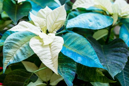 Display of blue and white Christmas poinsettia plants in natural light Stock Photo
