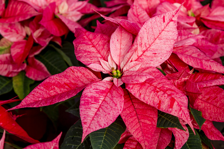 Traditional red variegated poinsettias Christmas flowering plant