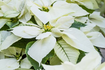 Close up of bright white Christmas poinsettia blossoms
