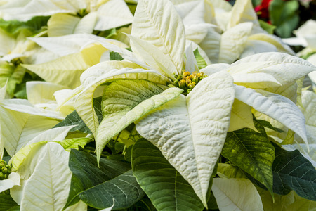 Display of white poinsettia flowering plants in natural light