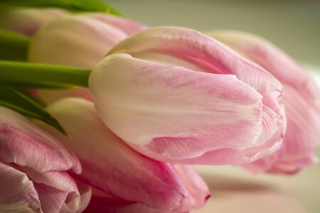 Pink and white tulip bud in bright window light