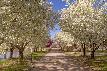 Urban walking path lined with blooming crab apple trees on sunny spring afternoon