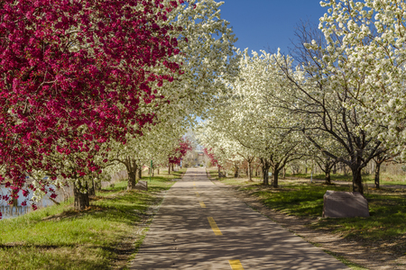Bike path along a river lined with blooming crab apple trees in late afternoon light