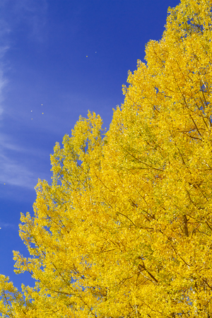 Close up of yellow aspen trees against blue skies and falling leaves in the air