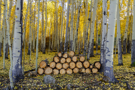 Wood chopping site in colorful yellow aspen forest
