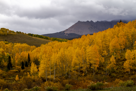 Colorful grove of yellow aspen trees on mountainside on stormy fall afternoon with high peaks in distance