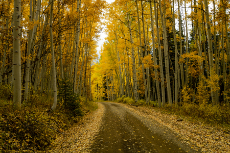 Mountain backroad in aspen tree forest with dirt road covered with fallen leaves on cloudy autumn afternoon