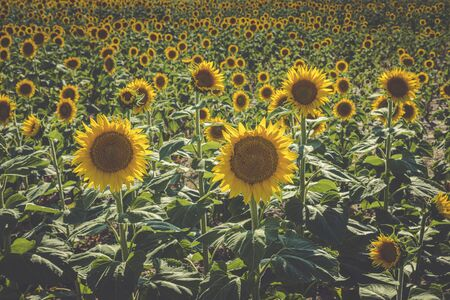 Field of large yellow sunflowers in summer sun with flat grunge processing colors 免版税图像