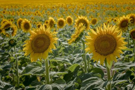 Large field of yellow sunflowers in late afternoon back lit by the sun 免版税图像