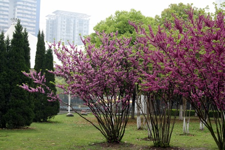 Blossoming cherry on the embankment of the Yangtze River  April 2012  Wuhan City  China is  Stock Photo