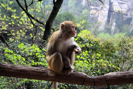 Wild monkey in the mountains of Zhangjiajie, Hunan Province, China Stock Photo