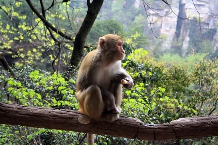 Wild monkey in the mountains of Zhangjiajie, Hunan Province, China Stock Photo