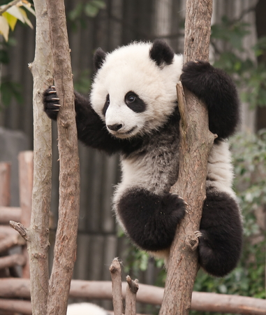 Giant panda baby over the tree Stock Photo