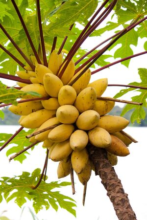 papaya flower: Papaya Tree in Singapore Botanical garden. Stock Photo