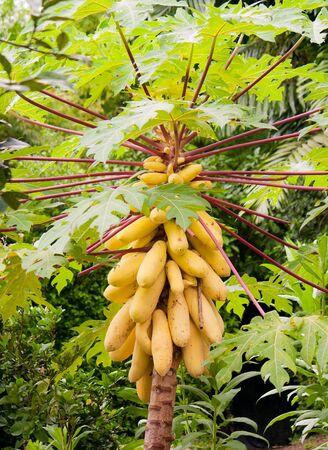 multiple ethnicity: Papaya Tree in Singapore Botanical garden. Stock Photo