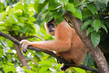 Yellow-cheeked gibbon female