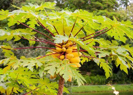 papaya tree: Papaya Tree in Singapore Botanical garden. Stock Photo